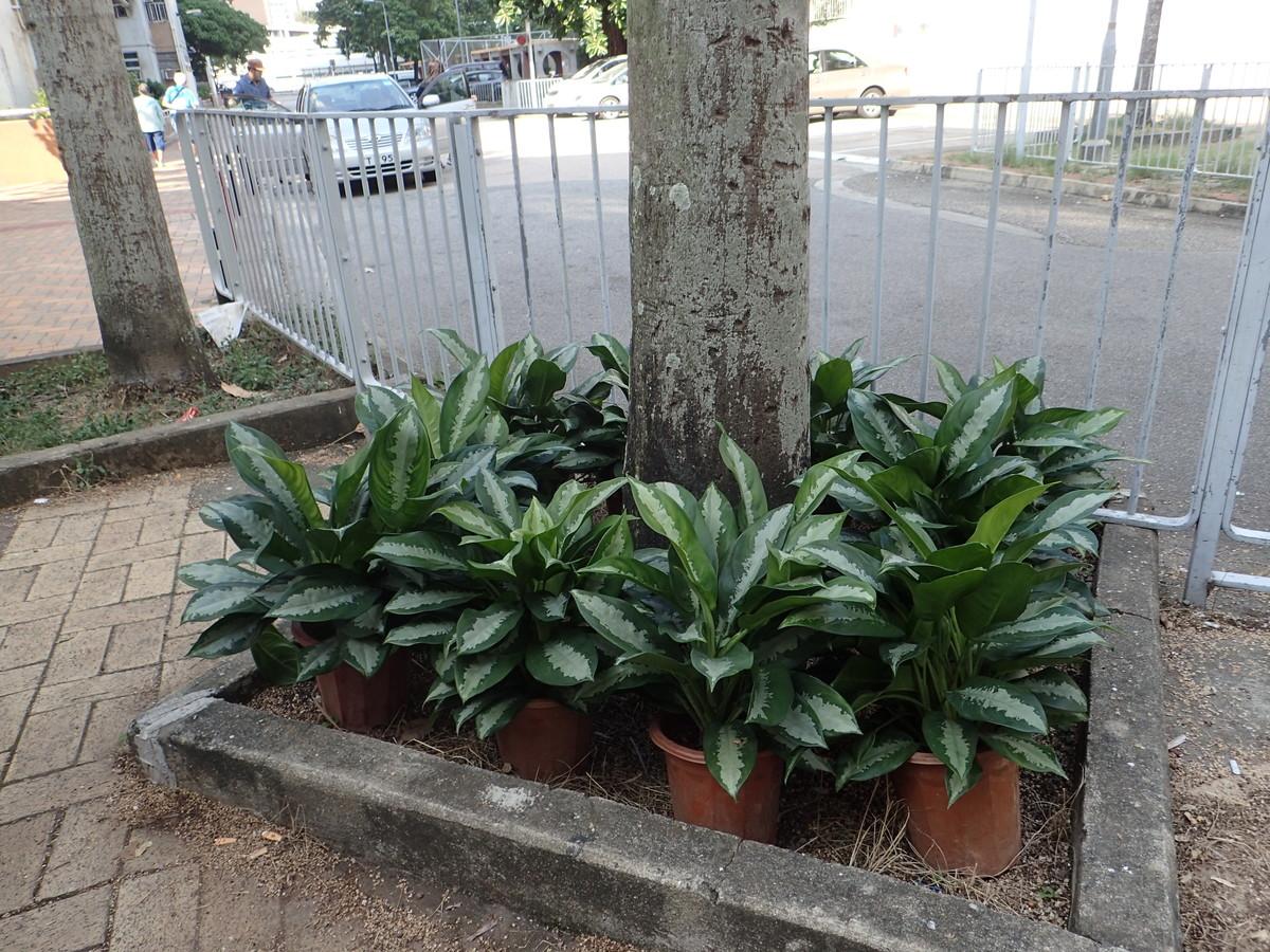 好花獻給您----城市綠化小先鋒